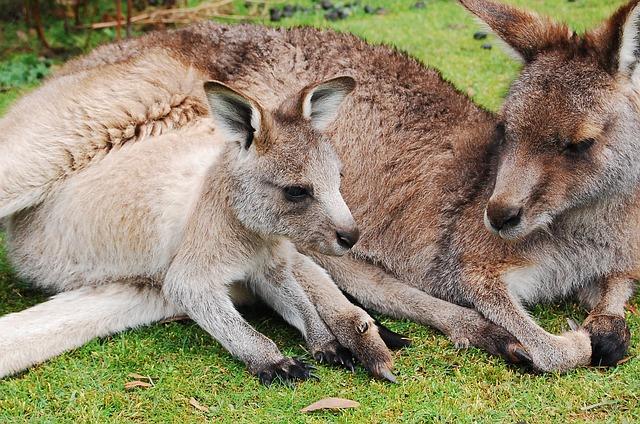 Reproducción y ciclo de vida de los canguros » CANGUROPEDIA