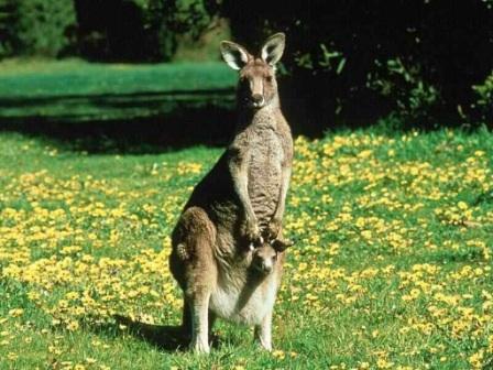 canguro y su cria