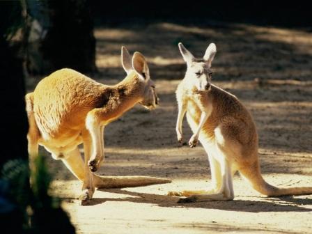 dos canguros en el bosque