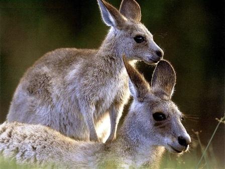 dos canguros