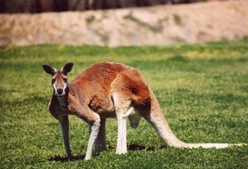 canguro rojo